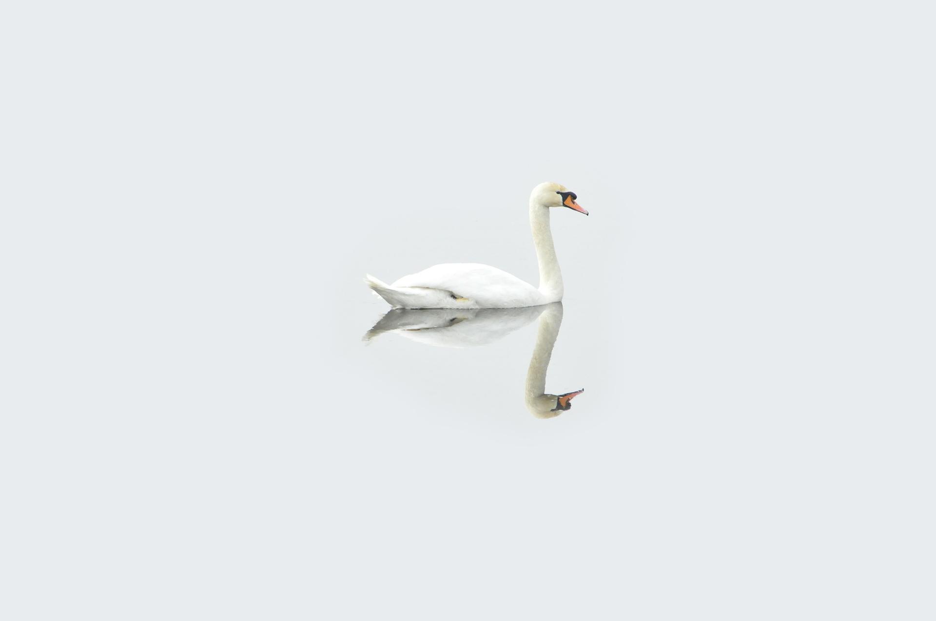 swan-bg