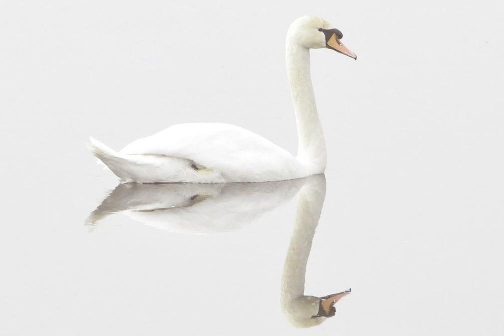 swan-img