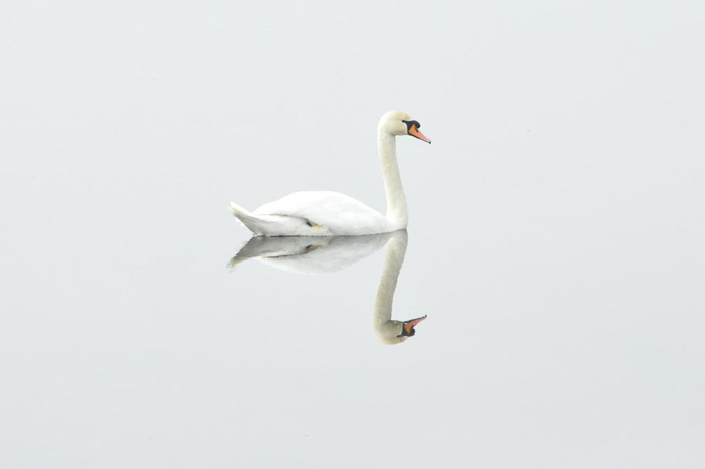 swan-img2